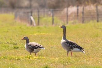 Greylag geese out around the lakes. Photos from Wildlife Trusts BCN Titchmarsh Nature Reserve.
