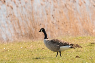 A Canada goose taking a stroll along the edge of the water. Photos from Wildlife Trusts BCN Titchmarsh Nature Reserve.