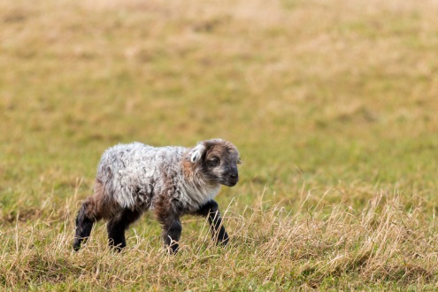 Another of the lambs, still a bit wobbly on their legs. Photos from Wildlife Trusts BCN Titchmarsh Nature Reserve.