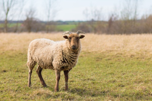One of the adult sheep, munching on the grass. Photos from Wildlife Trusts BCN Titchmarsh Nature Reserve.