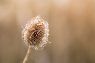 Empty seedhead on one of last year's teasels. Photos from Wildlife Trusts BCN Titchmarsh Nature Reserve.