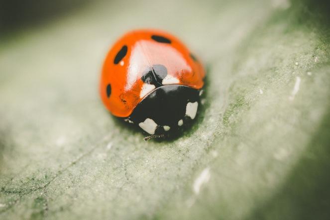 7 Spot ladybird, coccinella septempunctata.