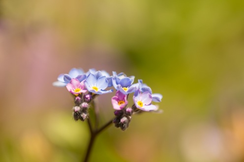 Forget-me-not showing the different colours the flowers go through during their lifetime.