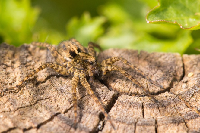 A sunbathing female spotted wolf spider.