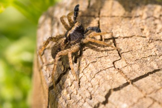 A male spotted wolf spider displaying to a female.