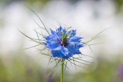 Love-in-a-mist flower backed by the white flowers of Snow in Summer.