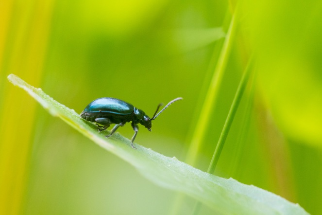 Had a mini garden minibeast hunt for day 4 of #30DaysWild. Found what I think is a blue mint leaf beetle.