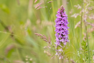 Another early visit to Summer Leys before the rain on day 14 of #30DaysWild. Orchids looking great!