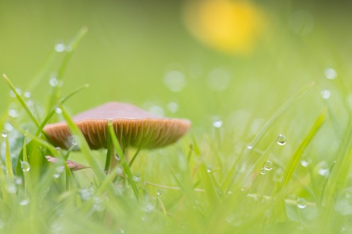 A meadow waxcap mushroom nestled in the dew covered grass. A quiet (and slightly damp) early morning walk round Summer Leys on day 16 of #30DaysWild.