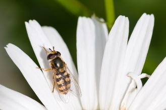 A migrant hoverfly on an oxeye daisy petal. Short time in the garden before the rain arrived on day 17 of #30DaysWild.