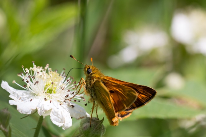 A large skipper butterfly on a bramble flower. A woodland double bill for day 26 of #30DaysWild. Headed out to Wildlife Trusts Short and Southwick Woods.