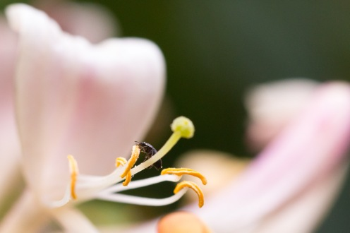 A tiny pollen beetle feeding on a honeysuckle flower. A cold and grey but dry day 30 of #30DaysWild, finishing off with minibeasts, flowers and fruit in the garden.