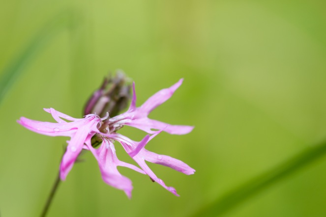 Another pink flower, this time it's ragged-robin. A woodland double bill for day 26 of #30DaysWild. Headed out to Wildlife Trusts Short and Southwick Woods.
