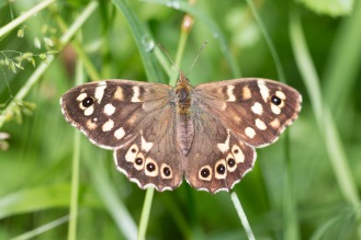 A lot of speckled wood butterflies flittering around the woods. A woodland double bill for day 26 of #30DaysWild. Headed out to Wildlife Trusts Short and Southwick Woods.