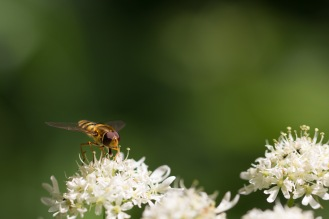 A hoverfly feeding on an umbellifer flower. A woodland double bill for day 26 of #30DaysWild. Headed out to Wildlife Trusts Short and Southwick Woods.