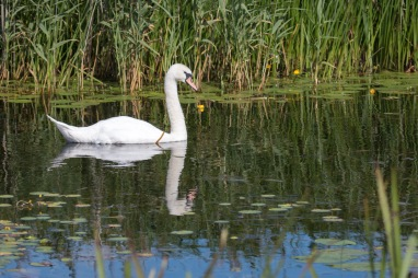 A mute swan on counter drain below middle level barrier bank. Photos from RSPB Ouse Washes on July 13th 2016.