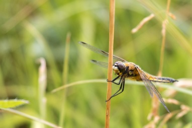 A four-spotted chaser dragonfly perched on a grass stem. Photos from RSPB Ouse Washes on July 13th 2016.