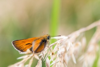 A small skipper butterfly. Photos from RSPB Ouse Washes on July 13th 2016.