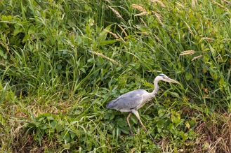 A grey heron stalking along the bank of Old Bedford River. Photos from RSPB Ouse Washes on July 13th 2016.