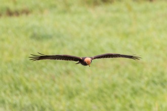 A female marsh harrier gliding over the washes. Photos from RSPB Ouse Washes on July 13th 2016.