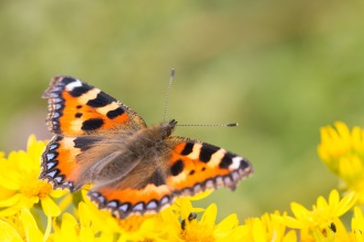 A small tortoiseshell butterfly feeding on ragwort flowers. Photos from RSPB Ouse Washes on July 13th 2016.