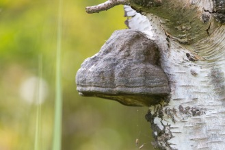 A Horse Hoof fungus, easy to see how it got its name. Photos from Holme Fen on July 14th 2016.