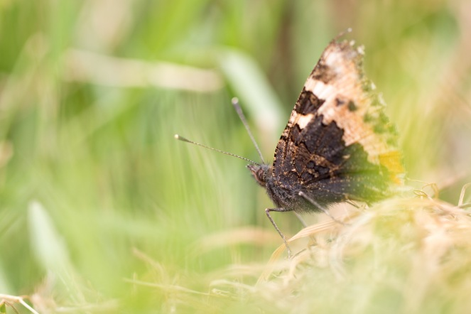 A small tortoiseshell butterfly in amoungst the long grass. Photos from New Decoy Farm on July 14th 2016.