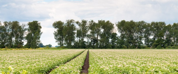 Tracks through this field of potatoes showing why the peat soiled fens are nicknamed The Black Fens. Photos from New Decoy Farm on July 14th 2016.