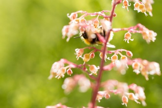 A bumblebee on of flowers of Coral Bells (heuchera). Making the most of the evening sunshine on day 15 of #30DaysWild, looking for minibeasts in the garden.