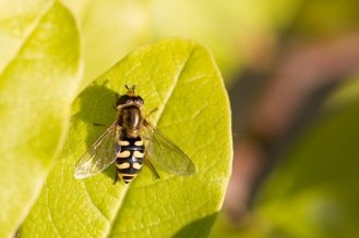 A migrant hoverfly taking in the evening sun on a magnolia leaf. Blue skies and flies, the weather turned out OK in the end for day 20 of #30DaysWild.