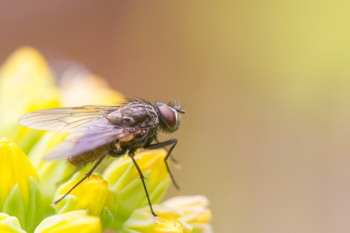 A small fly on the flower buds of stonecrop.