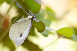 A Large White butterfly laying eggs on a nasturtium leaf.