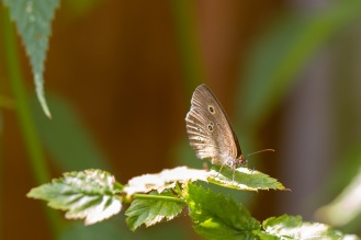 Sunlight catching the wings of a Ringlet butterfly.