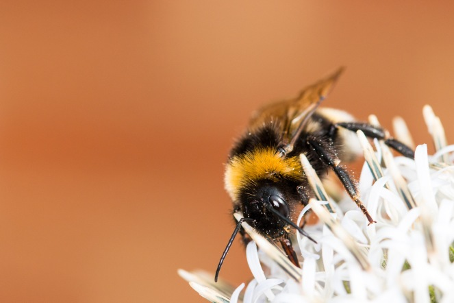 A cuckoo bumblebee on an echinops flower. I think this is bombus vestalis, the Southern cuckoo bumblebee.