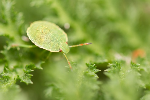 Common green shieldbug nymph nestled in the leaves of a tansy.