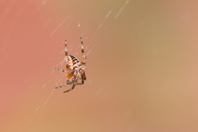 A small garden spider sitting in the middle of its web, in the garden.