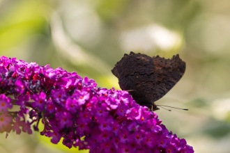 The underwing patterns of a Peacock butterfly feeding on buddleja flowers in the garden.