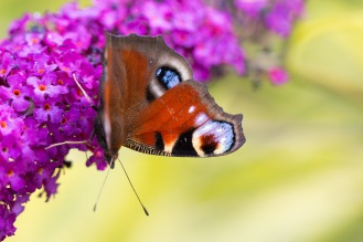 A Peacock butterfly feeding on buddleja flowers in the garden.