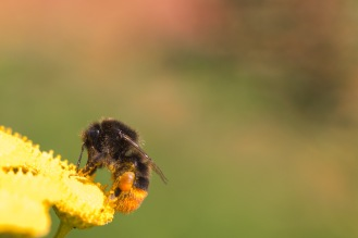 Red-tailed bumblebee, bombus lapidarius, on a Tansy flower in the garden.
