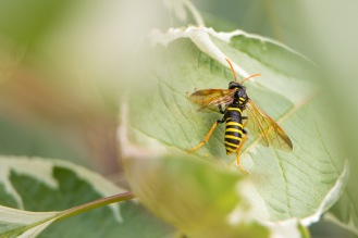 Tenthredo scrophulariae, the large and very wasp-like Figwort sawfly. Despite their appearance, like all sawflies, these have no sting and are harmless.