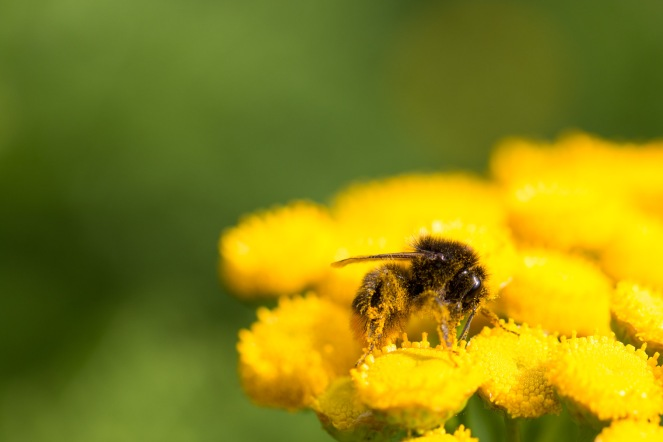A very pollen covered red-tailed bumblebee worker on a tansy flower in the garden.