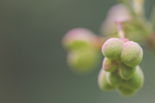 Close up of the berries forming on my Spindleberry tree.
