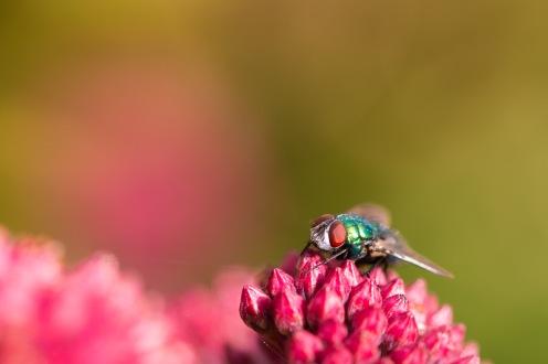 A greenbottle fly on a sedum flower in the garden.