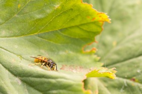 A common wasp, vespula vulgaris, having a drink from a droplet of water on a leaf.