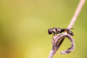 A Thick-legged hoverfly, syritta pipiens, on a plant stem in the garden.