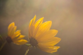 False sunflower flowers bathed in the low evening sunlight.