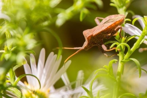 Found this dock bug in the garden today, hanging around on the aster flowers.
