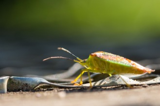 Hawthorn shieldbug out in the sun on the steps up to one of the bird hides. Photos from RSPB Ouse Washes.