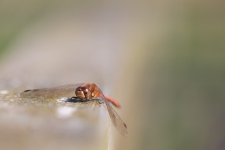 One of many Common Darter dragonflies using the wooden handrail as a perch. Photos from RSPB Ouse Washes.