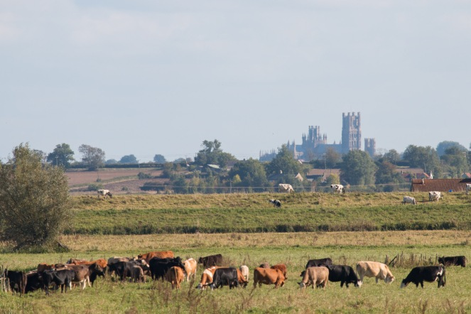 Ely Cathedral standing high on the Isle of Ely, above the herds of cows grazing the land in the washes. Photos from RSPB Ouse Washes.